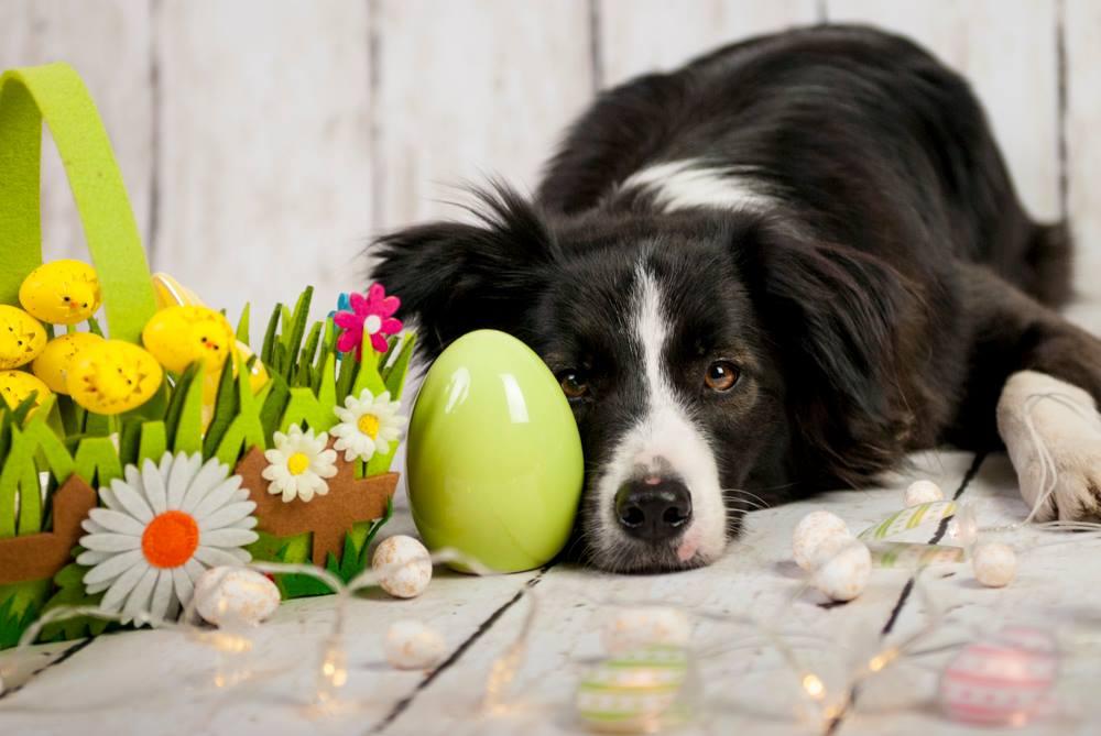 Pies leżący przy jajku