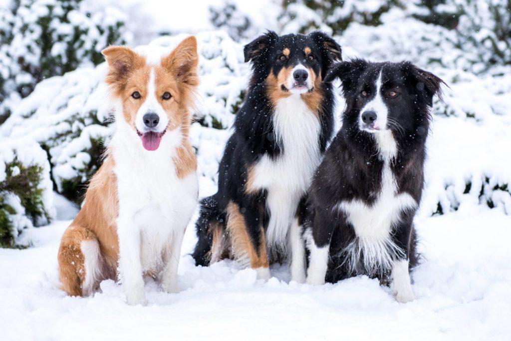 Psy na śniegu