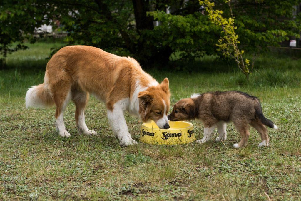 Para psów