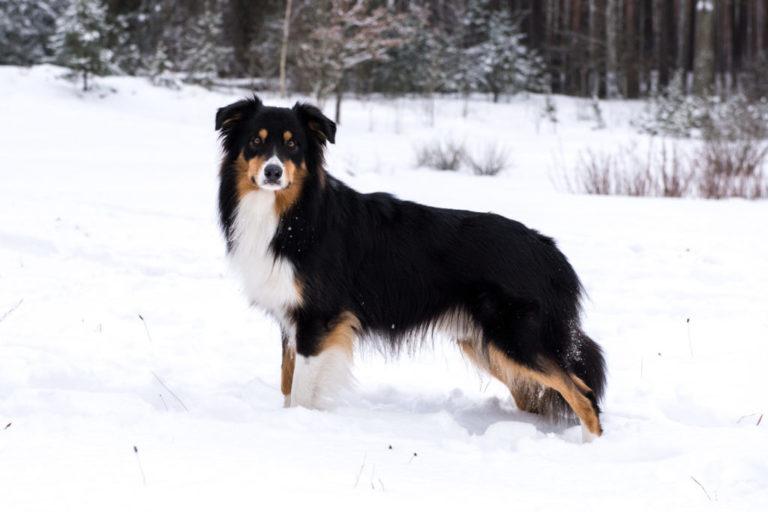 Zdjęcie przedstawia psa samca reproduktora na sniegu. Pies rasy border collie, tricolor czarny.